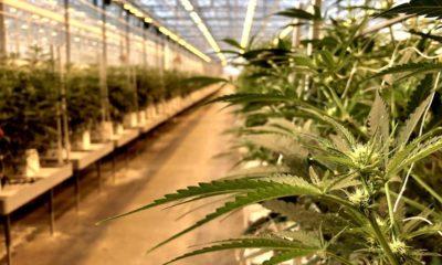 Industrie canadienne du cannabis