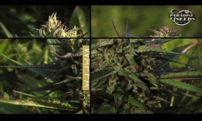 Test des variétés Paradise Seeds