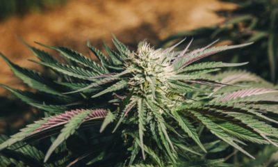 Cannabis en Afrique du Sud