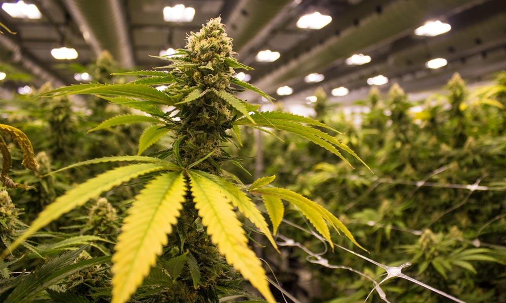 Prohibition française du cannabis est raciste