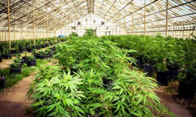 Serre de culture de cannabis