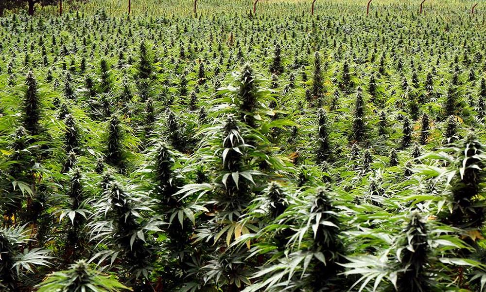 Ventes de cannabis au Canada en mai 2020