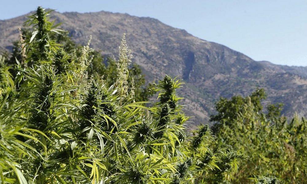Cannabis au Maroc