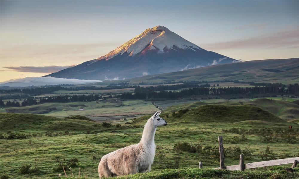 Chanvre en Equateur
