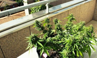 Des députés italiens cultivent du cannabis