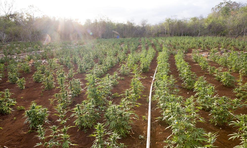 Une ferme de cannabis en Jamaïque