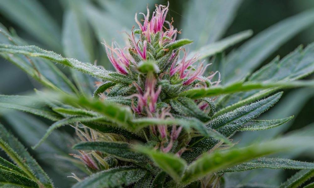 Sondage sur la légalisation du cannabis en Nouvelle-Zélande