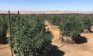 Légalisation du cannabis et cartels mexicains