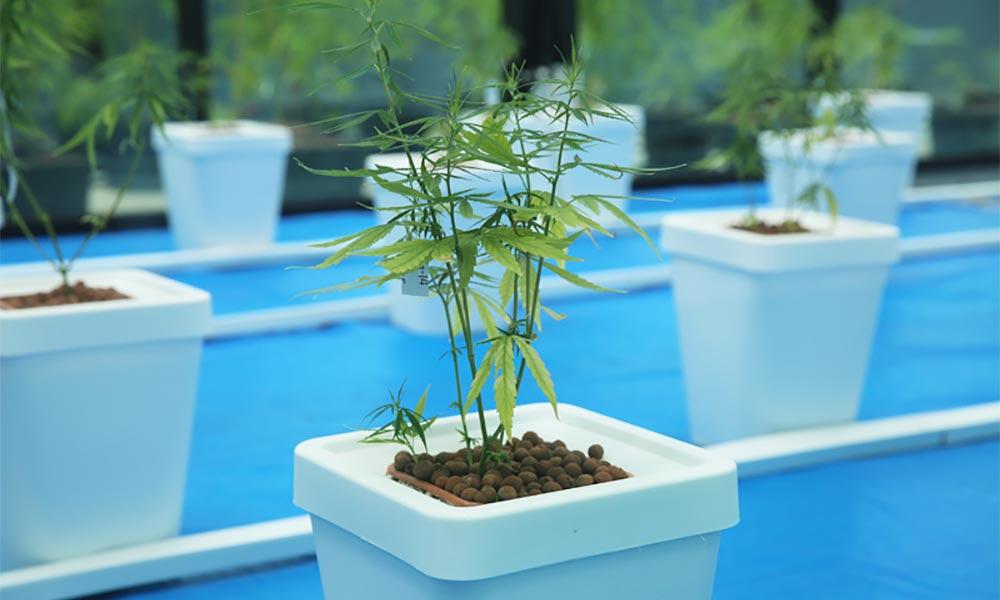 Production de cannabis médical en Thaïlande