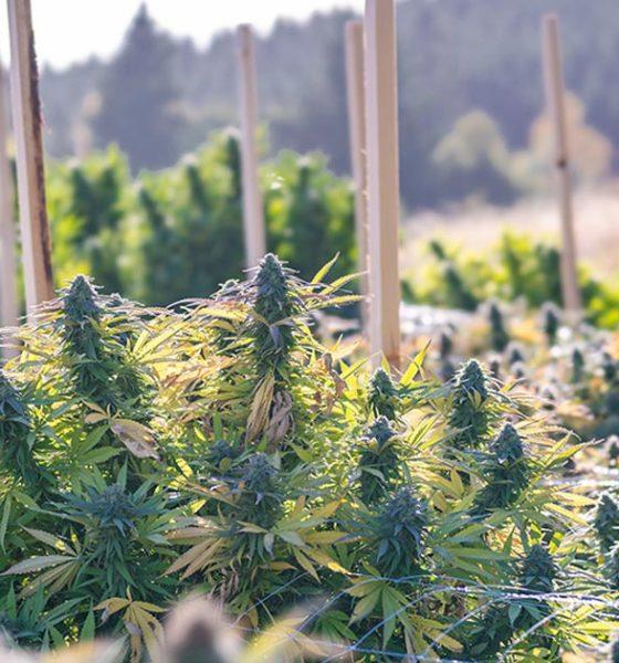 Cannabis médical à Hawaii