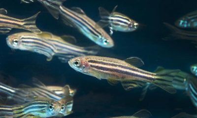 Test de cannabis sur les poissons