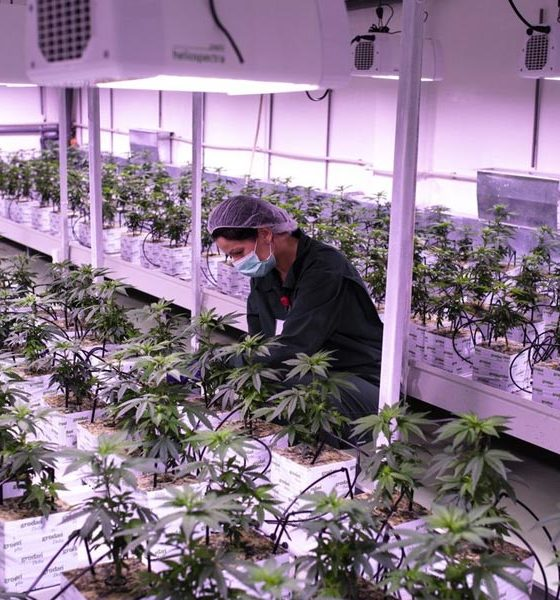 Production de cannabis médical en Macédoine