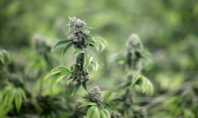 Distribution contrôlée de cannabis en Suisse