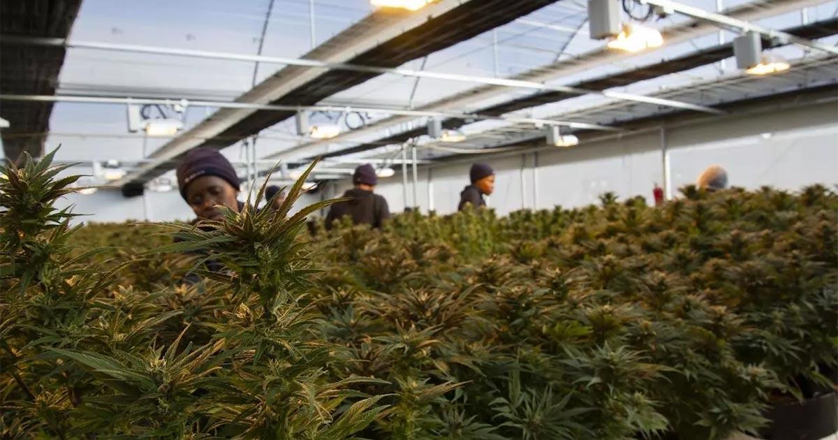 Cannabis médical au Rwanda