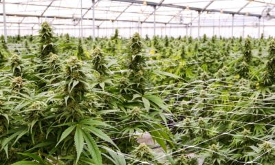 Baisse du prix du cannabis médical en Israël