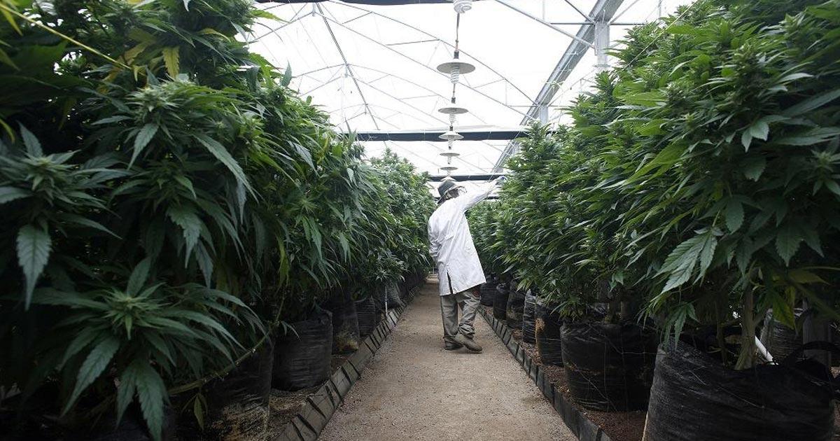 Annonce de la légalisation du cannabis en Israël