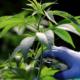 Diplôme de cannabis médical en France