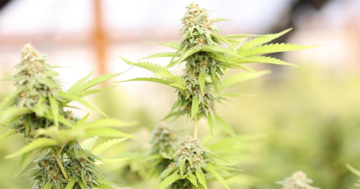 Etude sur cannabis et douleur neuropathique