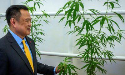 Auto-culture de cannabis médical en Thaïlande