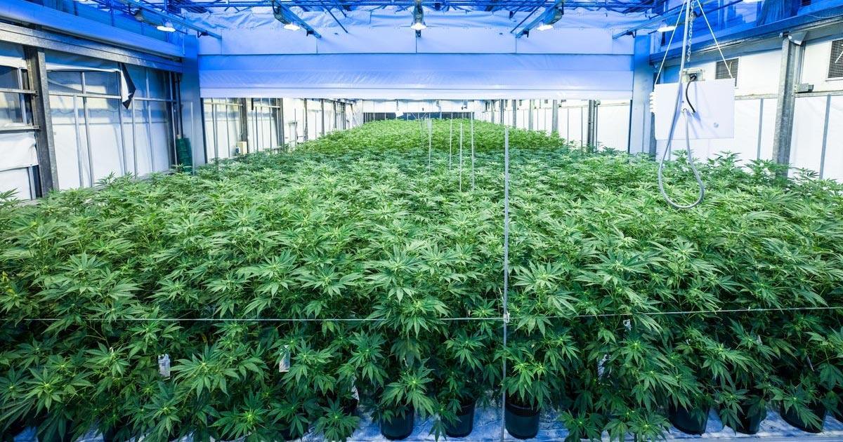 Culture légale de cannabis aux Pays-Bas