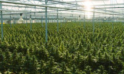 Culture de cannabis au Roayume-Uni
