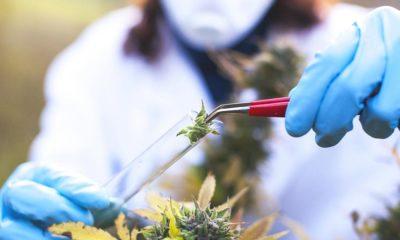Recherche sur le cannabis en 2020
