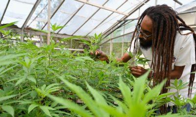 Cannabis en Jamaïque