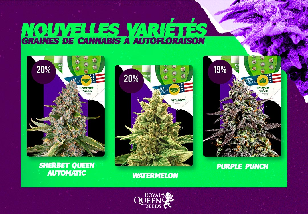 Variétés cannabis autofloraison Royal Queen Seeds