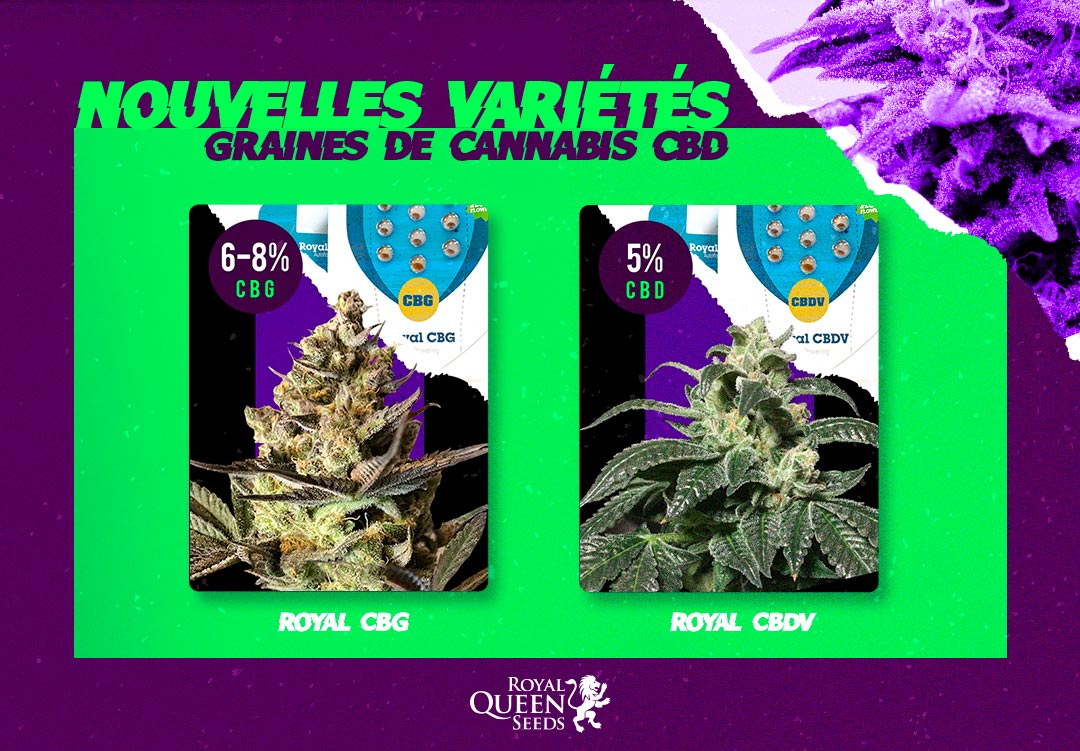 Variétés cannabis CBD Royal Queen Seeds
