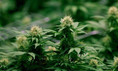 Ventes de cannabis au Canada en 2020