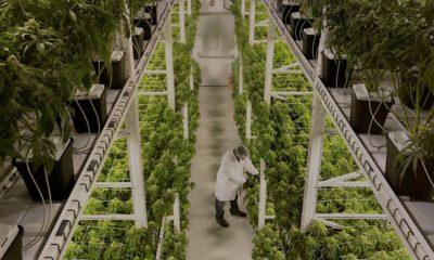 Production cannabis en intérieur