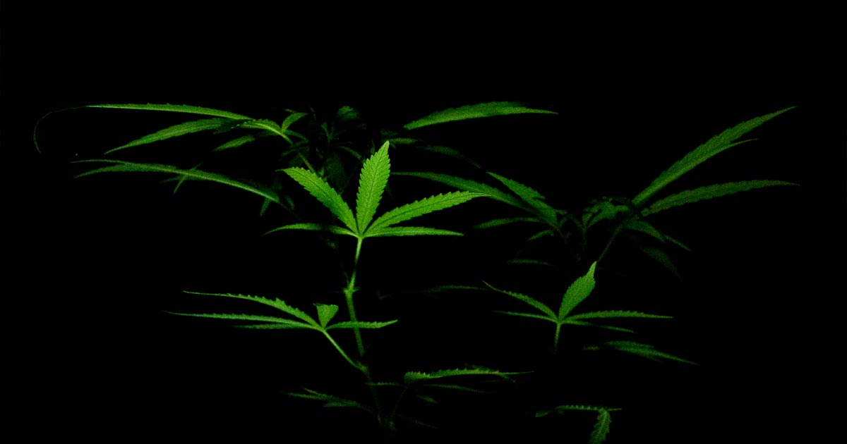 Sondage sur le cannabis aux Etats-Unis