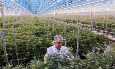 Producteur de cannabis Hexo