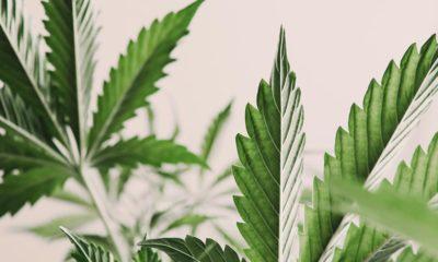 Cancer gynécologique et cannabis