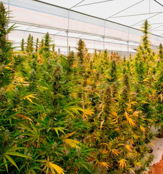 Cannabis médical en Argentine
