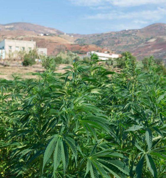 Cannabis médical au Maroc