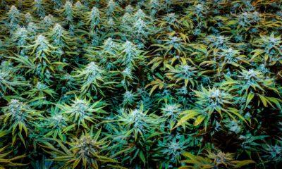 Cannabis médical au Dakota du Sud