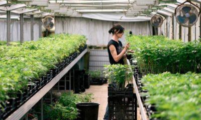 Sondage sur la légalisation du cannabis en Suisse