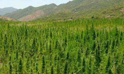 Légalisation du cannabis thérapeutique au Maroc