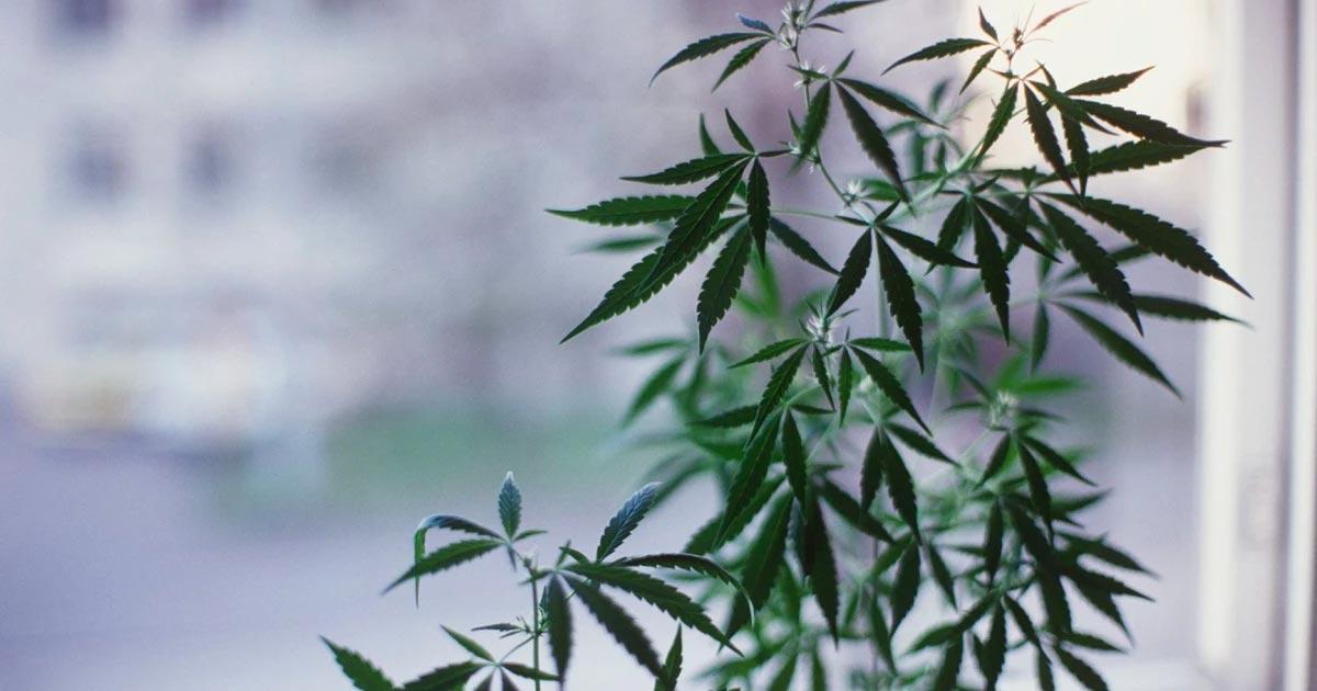 Fin de la prohibition du cannabis en Finlande
