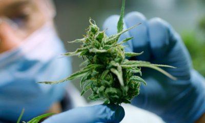 Abandon de la légalisation du cannabis au Luxembourg