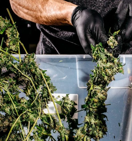 Légalisation du cannabis et crimes