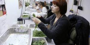 Au Colorado, la fraude se compte en kilos de weed