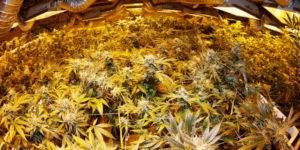 Le Colorado réduit le nombre de plants autorisés en autoculture