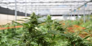 Israël : Les ministères des Finances et de la Santé approuvent l'exportation de cannabis