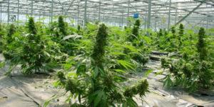 L'Allemagne veut produire deux tonnes de cannabis par an