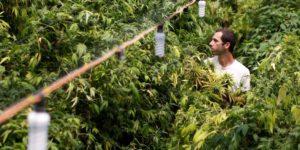 L'Australie alloue 315 000€ pour monter une production locale de cannabis médical