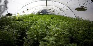 La Nouvelle Zélande songe t-elle à légaliser le cannabis ?