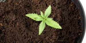 5 variétés de cannabis difficiles à cultiver