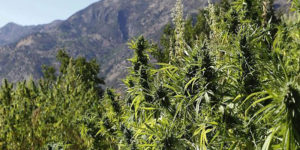 Massachusetts : Révision majeure du projet de loi sur le cannabis récréatif